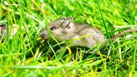 Eine Maus Im Garten Beim Spielen Entdeckt Und Erst Youtube