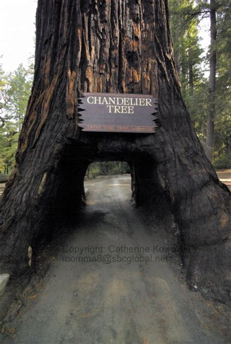 chandelier drive thru tree park leggett ca california