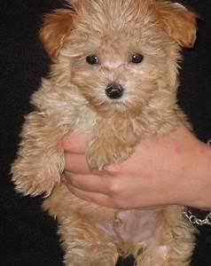 brown maltese puppies for sale | Animals | Pinterest ...