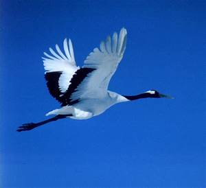 Red-crowned (or Japanese) Crane - FONT Japan Winter ...