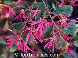 Images for purple leaves pink flowers shrub shoessells hd wallpapers purple leaves pink flowers shrub mightylinksfo
