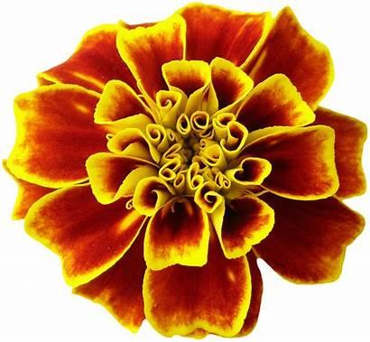 Flower Orange Summer Sun Pixabay Illustrations Blossom