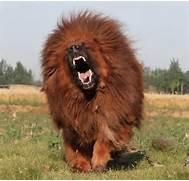 Rottweiler Dog Attacks...