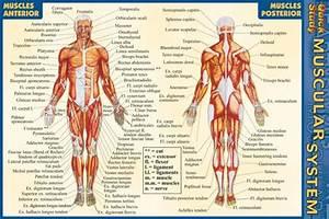 Muscular System - Pocket Guide