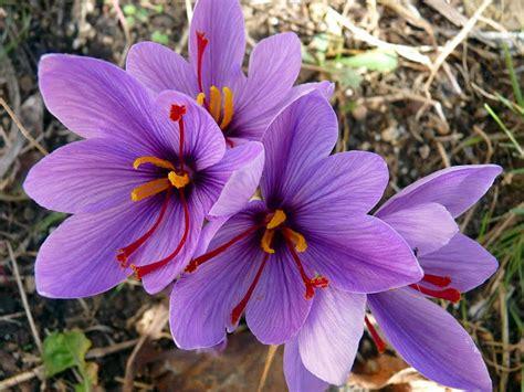 saffron crocus 50 bulbs spice fall blooming