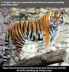 Facts About Tigers the Animal