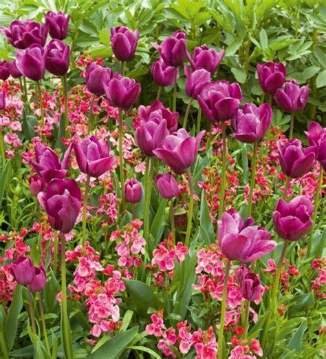 tulip wallflower pink salvato sarahraven da