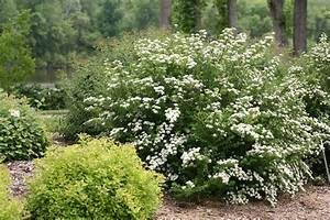 Spirea  How To Grow And Care For Spirea Bushes