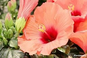 Taille De L Hibiscus : hibiscus fleur d int rieur et jardin plantation ~ Melissatoandfro.com Idées de Décoration