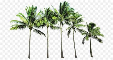 Tree Wallpaper Png by Arecaceae Wallpaper Coconut Tree Png