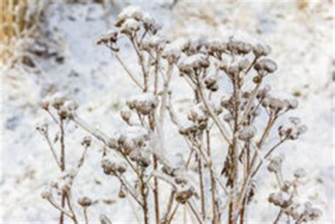im winter blühende blumen blumen bedeckt mit schnee und eis stockbild bild potentiometer unternehmen 37745501