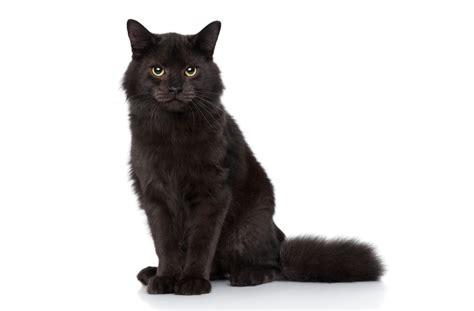 black cat superstition top 28 black cat superstition black cat superstition folklore and legends black cat bad