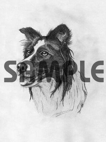 BORDER COLLIE dog pencil drawing - Download Animals