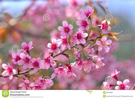 cherry blossom botanical name 在泰国的北部的美丽的狂放的喜马拉雅樱花 库存图片 图片 包括有 浪漫 工厂 绽放 本质 开花 很多 39758081