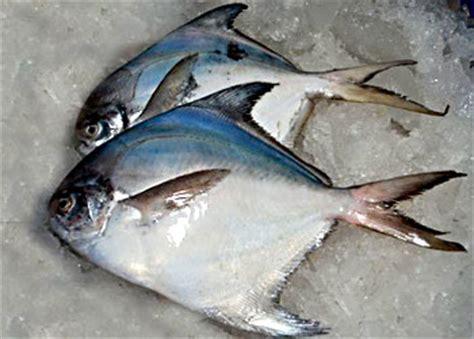 pomfret fish indian marine species