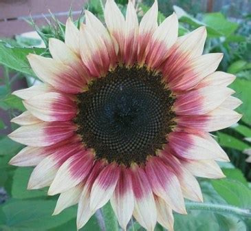 cari harga bunga matahari klik informasi lengkap agustus