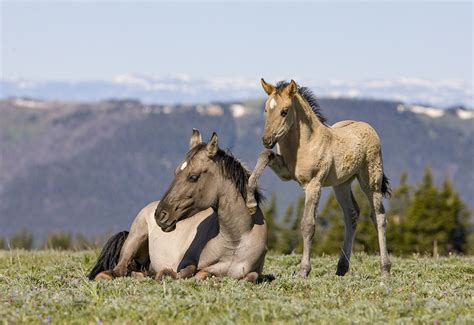 montana wild mountains horses horse livingimagescjw pryor wake mom mustangs fine walker prints filly madison trying