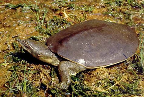 softshell turtle red cliffs desert reserve 187 spiny softshell turtle apalone spinifera