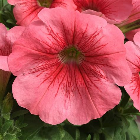 Cool Product Alert The Petunia Sky Plant by New Plants For 2016 Hgtv