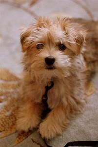17 Best images about MALTESE DOGGIES on Pinterest | Yorkie ...