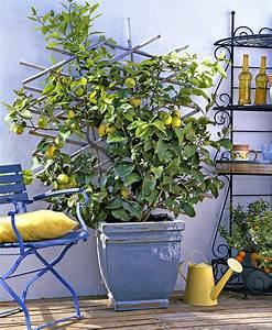 Planter Un Citronnier : planter un citronnier amazing conseils en vido pour ~ Melissatoandfro.com Idées de Décoration