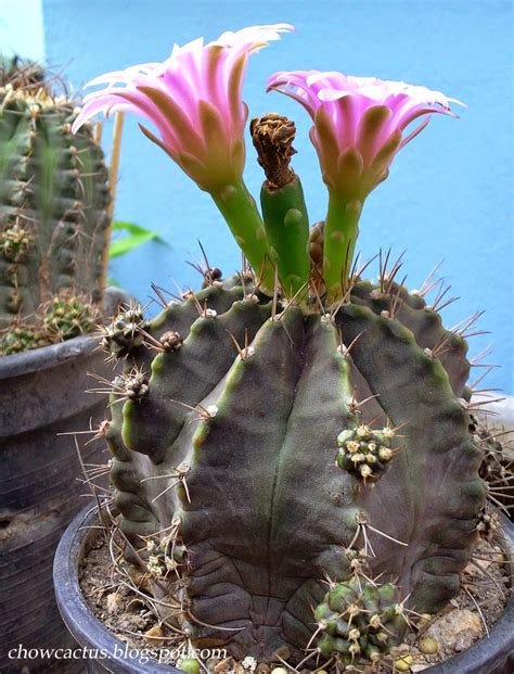 Chow Cactus: Gymnocalycium cactus แคคตัสยิมโนต้นเก่า เรื่องราวจากกระบองเพชรที่เคยถูกทอดทิ้งกลาย ...