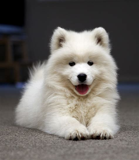 breeds dog samoyed dog informations