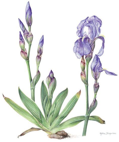 fiori botanica galleria stirpe pittrice botanica
