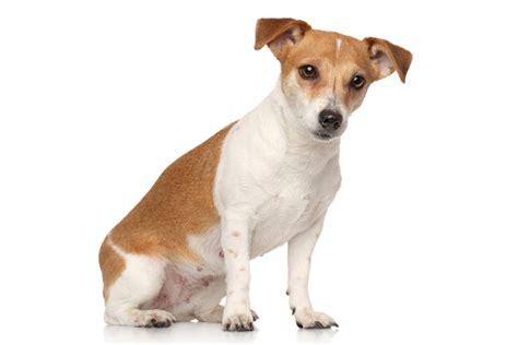 jack russel terrier parson jack russell terrier