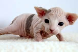bald cats silly cat pictures hairless cats