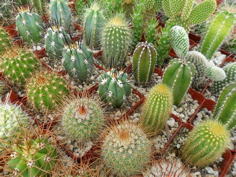 pics of cacti items similar to 12 assorted cactus plants perfect for a