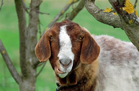 The Ugly Goats Photo Image_picture Free Download 551937