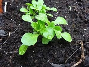 Salat Pflanzen Abstand : im beet sollte der vitaminreiche salat in eine tiefe von etwa einem zentimeter und in ~ Markanthonyermac.com Haus und Dekorationen