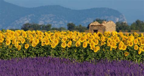 cuisine manosque violet lavender fields in provence places to see