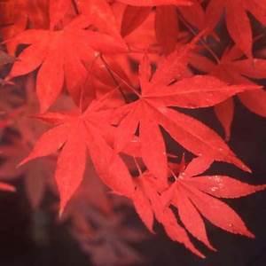 Erable Du Japon Entretien : acer osakazuki ~ Nature-et-papiers.com Idées de Décoration