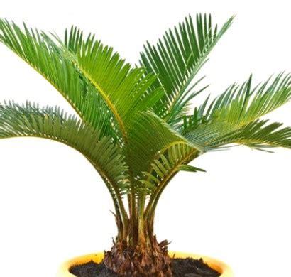 architektur hotels zimmerpalmen bilder welche sind die typischen palmen arten