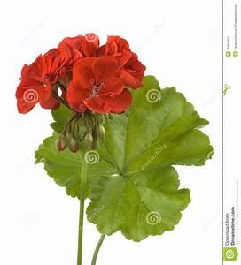 Artistic Clip Art Red Geranium – Cliparts