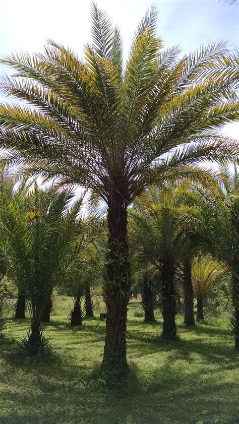 Medjool Date Palm Hardy Palm Tree Farm