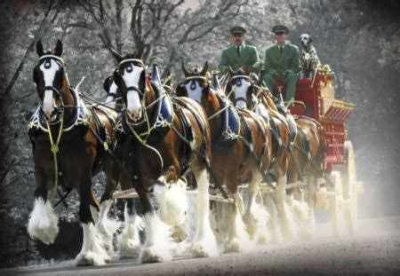 budweiser clydesdales horses animals background