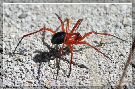 rote mini spinne rote spinne bild foto marcel moser aus western