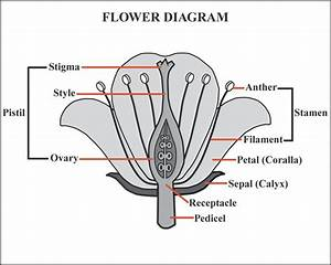 Fruit Flower Diagram