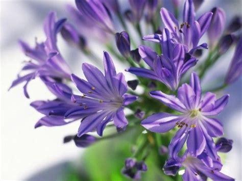 afrikanische lilie überwintern afrikanische lilie schmucklilie oder noch liebesblume genannt blumen und pflanzen types of