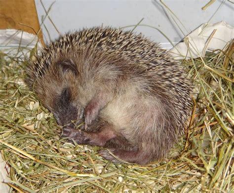 what heat l to use for hedgehogs 17 meilleures id 233 es 224 propos de h 233 risson hibernation sur