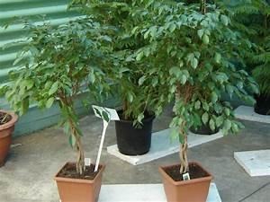 Ficus Benjamini Vermehren : birkenfeige ficus benjamini pflege krankheiten sch dlinge ~ Lizthompson.info Haus und Dekorationen