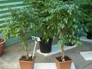 Ficus Benjamini Gelbe Blätter : birkenfeige ficus benjamini pflege krankheiten sch dlinge ~ Watch28wear.com Haus und Dekorationen