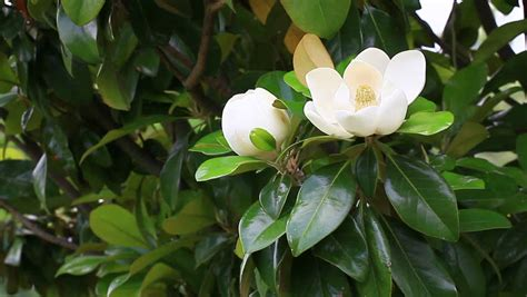 magnolia tree white flowers two beautiful magnolia flowers on a tree branch closeup hd 1920x1080 stock footage video