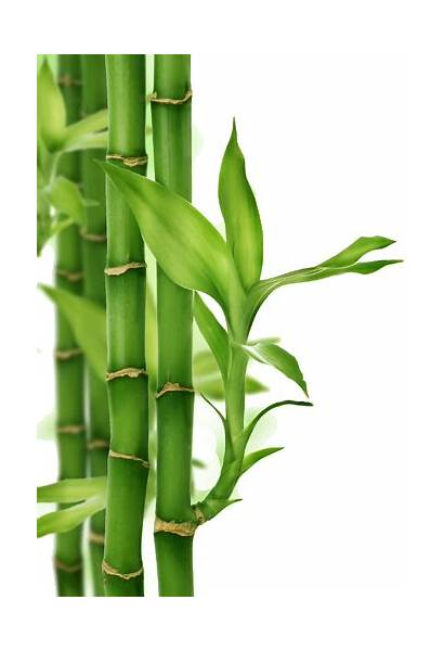 Bamboo Drawing Leaves Spring Armani Colorful Flower