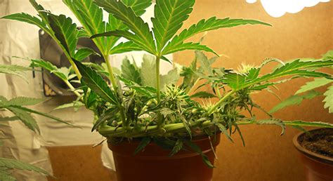 complete autoflower plant grow guide