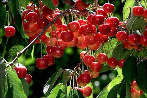 rainier cherries   peak   crop seattlepicom