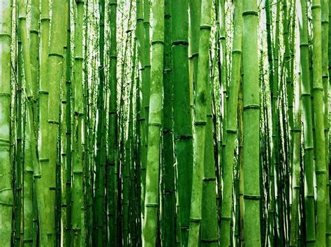 pictures of bamboo trees multiplex bamboo for sale online the tree center